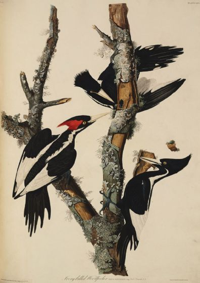 Audubon, John James: Ivory Billed Woodpecker. Ornithology Fine Art Print/Poster. Sizes: A4/A3/A2/A1 (001123)